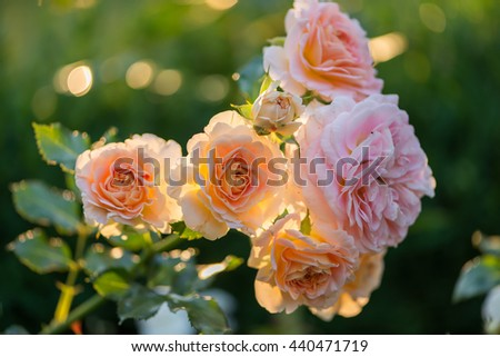 blooming roses in a garden at sunset - stock photo