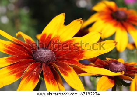 Blooming Rudbeckia (Black-eyed Susan flower) - stock photo