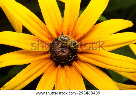 Blooming Rudbeckia flower - stock photo
