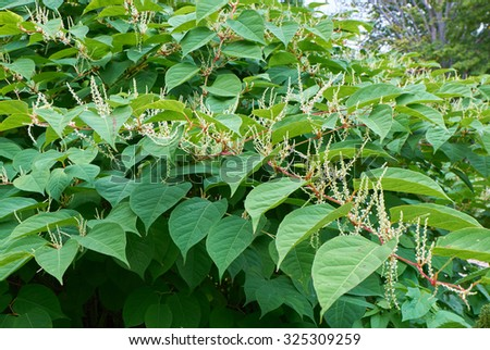Blooming Sakhalin Knotweed or Fallopia sachalinensis in autumn