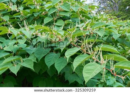 Blooming Sakhalin Knotweed or Fallopia sachalinensis in autumn - stock photo