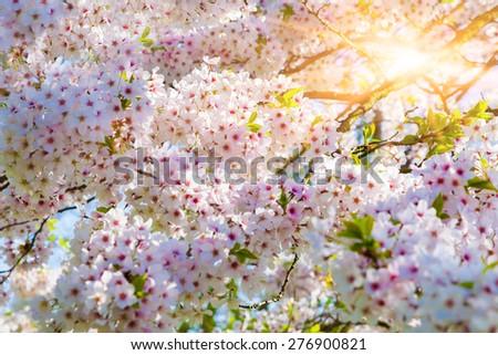 Blooming sakura flowers in the Keukenhof park, used as background. Beautiful outdoor scenery in Netherlands, Europe. - stock photo