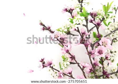 Blooming sakura, spring flowers on white background with space for greeting message. Mother's Day and spring background concept.