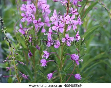 Blooming sally flowers. Epilobium angustifolium, Epilobium flower, Purple Alpine Fireweed. - stock photo