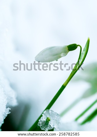 Blooming snowdrops flowers covered by snow - stock photo