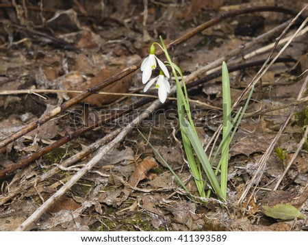 Blooming snowdrops, Galanthus nivalis, grows in dry grass, early spring closeup, selective focus, shallow DOF - stock photo