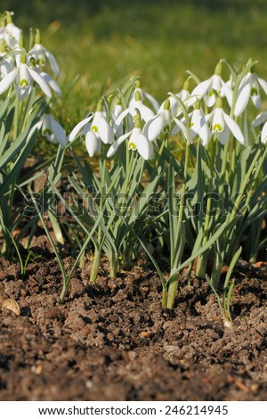 Blooming Snowdrops on a meadow - stock photo