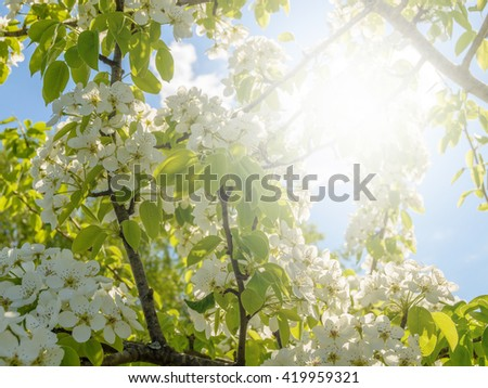 Blooming spring apple tree against in sunlight. Beautiful apple tree branch with sun - stock photo