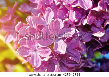 Blooming spring bright pink lilac flowers under sunlight. Selective focus at the central flowers, soft focus processing - stock photo