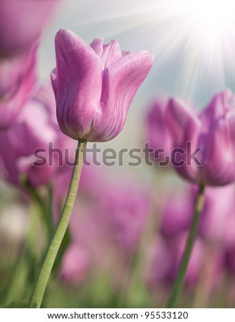 Blooming spring flowers tulips in the sunlight - stock photo