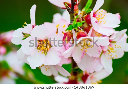 blooming spring tree - stock photo