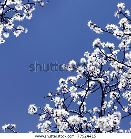 Blooming spring tree branches with white flowers over blue sky, abstract border nature background - stock photo