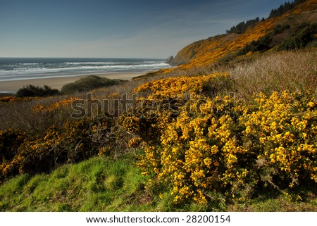 Blooming stoch broom decorate the Oregon coast line. Focus is on foreground - stock photo