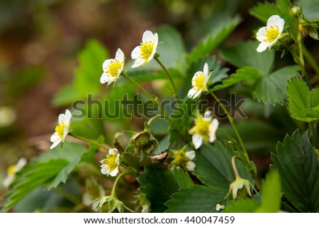 Blooming strawberries in the garden.