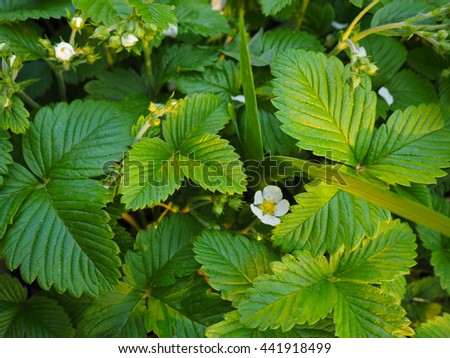 Blooming strawberries on the field. Strawberry flowers on the stem blooming - stock photo