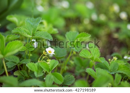 Blooming strawberries - strawberry field on an organic farm. several strawberry flowers on the stem. Strawberry plant blooming - stock photo