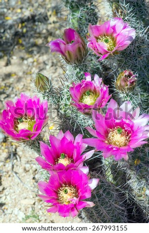 Blooming Strawberry Hedgehog Cactus (Echinocereus engelmannii) is commonly found in desert areas of the southwestern United States - stock photo
