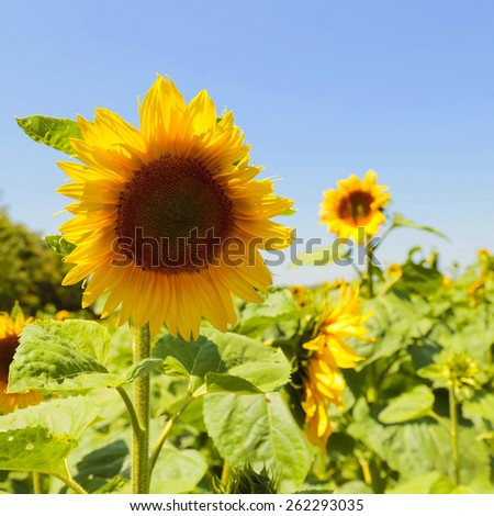 Blooming sunflower in the blue sky and sunflower field background. Selective focus on one flower - stock photo