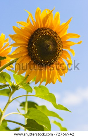 Blooming sunflower in the blue sky background. - stock photo