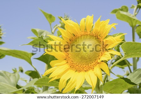 blooming sunflower on the field - stock photo