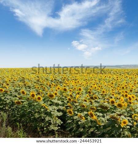 Blooming sunflower plantation and blue sky - stock photo