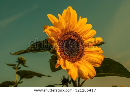 Blooming sunflower. Seasonal nature background. Vintage effect - stock photo