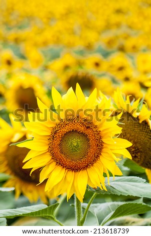 Blooming sunflowers field, focus one sunflower. - stock photo