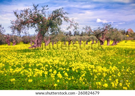 Blooming tangerine garden at Cape Milazzo, Sicily, Italy, Europe. - stock photo