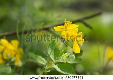 Blooming Tetterwort, Chelidonium majus - stock photo