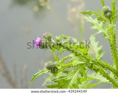 Blooming Thistle, Carduus, flower and buds macro with bokeh background, selective focus, shallow DOF - stock photo