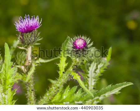 Blooming Thistle, Carduus, flower bud macro with bokeh background, selective focus, shallow DOF - stock photo