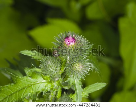 Blooming Thistle, Carduus, flower buds macro with bokeh background, selective focus, shallow DOF - stock photo