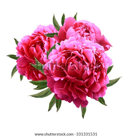 Blooming  three red peonies isolated on white background - stock photo