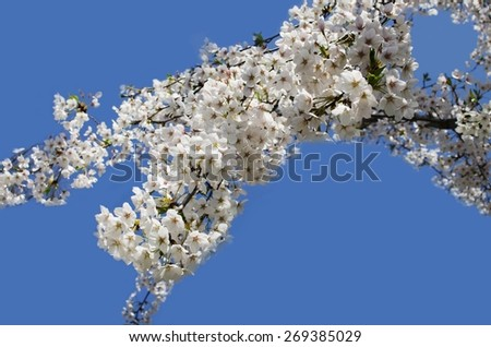 Blooming tree branch in spring against blue sky - stock photo