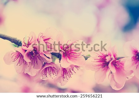 Blooming tree branch in spring with blurred background,vintage effect - stock photo