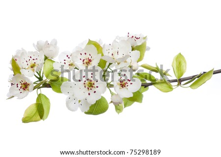 Blooming tree in spring isolated on white - stock photo