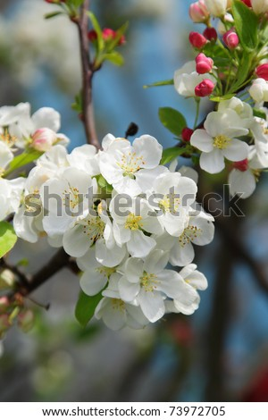 Blooming tree in spring with white flowers - stock photo