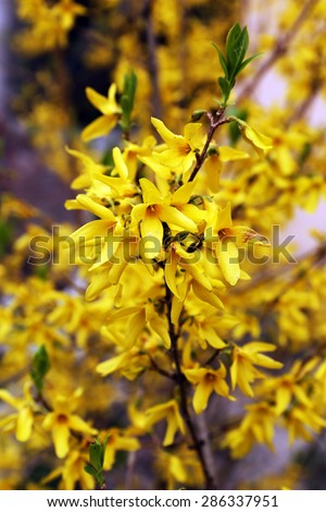 Blooming tree twigs with yellow flowers in spring close up - stock photo
