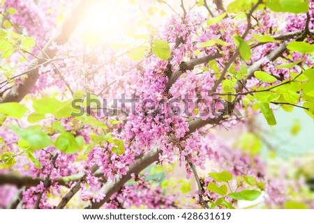 Blooming tree with pink flowers in morning sunlight. Soft focus. Spring blossom background - stock photo