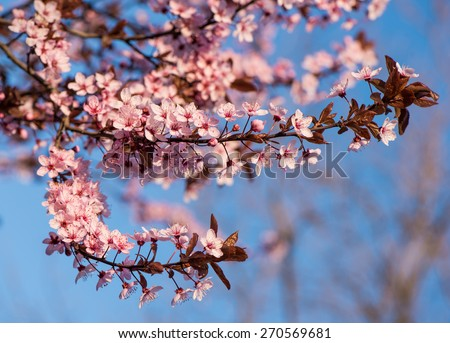 Blooming tree with pink flowers in spring. Springtime. Sunny day - stock photo