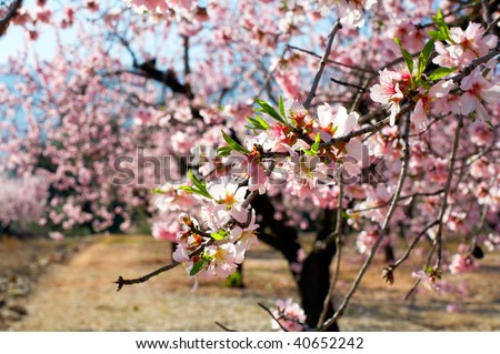 blooming trees on field in spring - stock photo