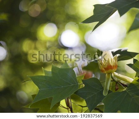 Blooming tulip tree in spring - stock photo