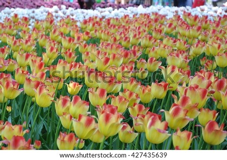 Blooming tulips - stock photo