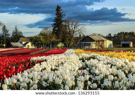 Blooming tulips at country landscape
