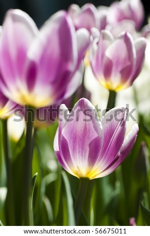 Blooming tulips in spring garden, shallow DOF - stock photo
