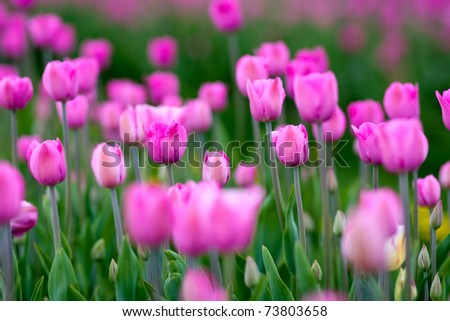 blooming tulips in springtime - stock photo