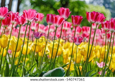 Blooming tulips in the spring garden
