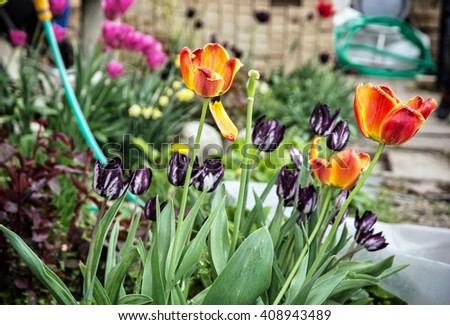 Blooming tulips planted in the spring garden. Seasonal natural scene. Cultivating flowers. - stock photo