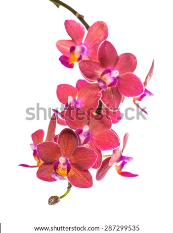 blooming twig of beautiful red orchid, phalaenopsis is isolated on white background - stock photo