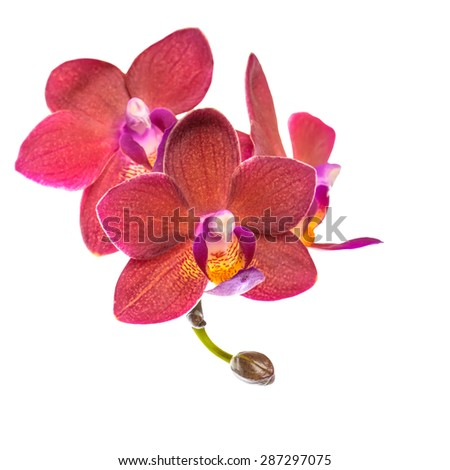 blooming twig of beautiful red orchid, phalaenopsis is isolated on white background, closeup - stock photo